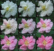 220px-Hibiscus_mutabilis,_changing_colors
