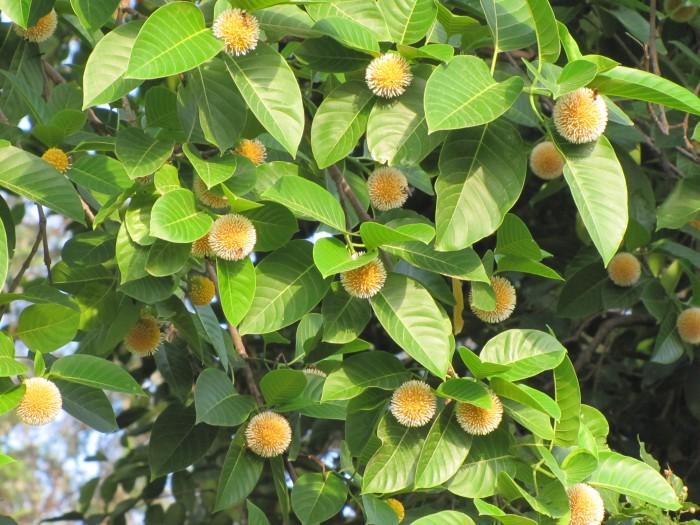 Kadamba-flower-on-the-tree