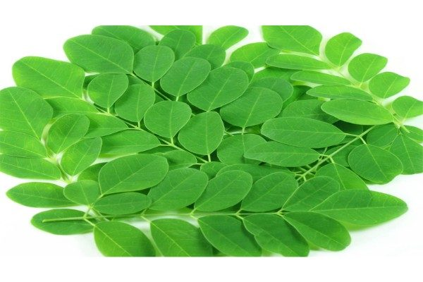 drumstick_leaves-600x400