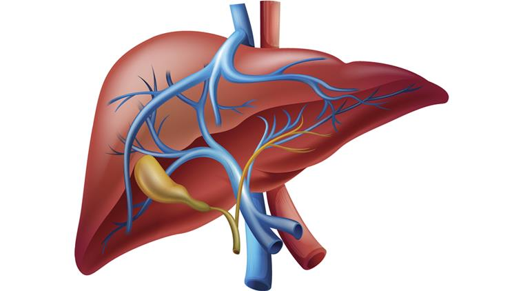 Illustration of the human internal liver