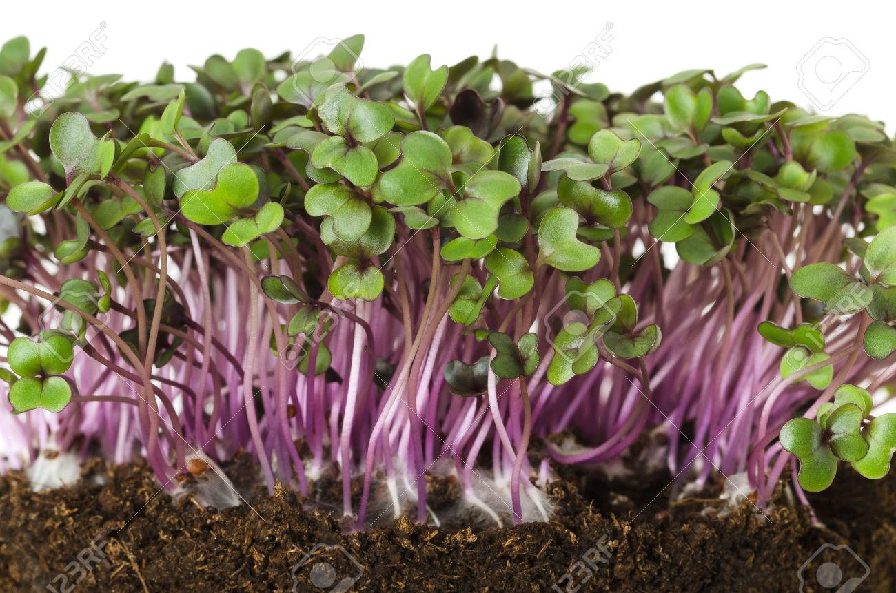 Red cabbage sprouts front view