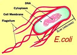 ecoli-cell